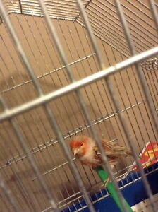 Red agate male canary for sale