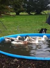 Purebred Silver Appleyard Ducks and Drakes ... Gordon Moorabool Area Preview