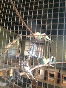 BUDGIES FOR SALE Liverpool Liverpool Area Preview