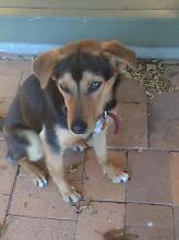"""Sunny"" Female Border Collie x Kelpie Pup Jindera Greater Hume Area Preview"