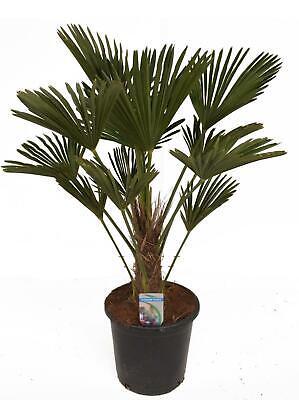 Trachycarpus fortunei 'Wagnerianus' Wagners Hanfpalme Wagnerpalme