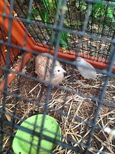 4 quails 1 male king and hutch Albion Park Shellharbour Area Preview