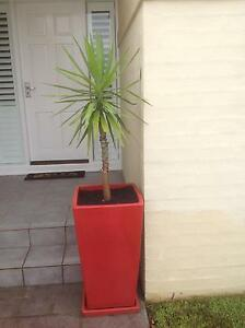 Solid glazed red Pot with Yucca plant Bomaderry Nowra-Bomaderry Preview