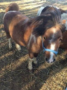 Male miniature horse for sale