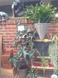 Two Healthy Tall Pot Plants