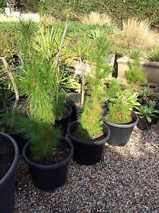 Radiata pine 300 pots 750 mm height Leppington Camden Area Preview