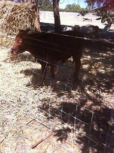 Droughtmaster bull Gabbadah Gingin Area Preview