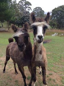 2 Llamas Canberra City North Canberra Preview