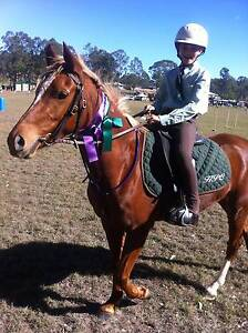 Welsh x ARP with papers 13.3 taffy pony 8 years old East Brisbane Brisbane South East Preview