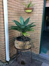 Large terracotta pot with plant Nambour Maroochydore Area Preview