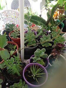 Succulents in pots , North Perth Vincent Area Preview