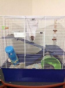 Male rat