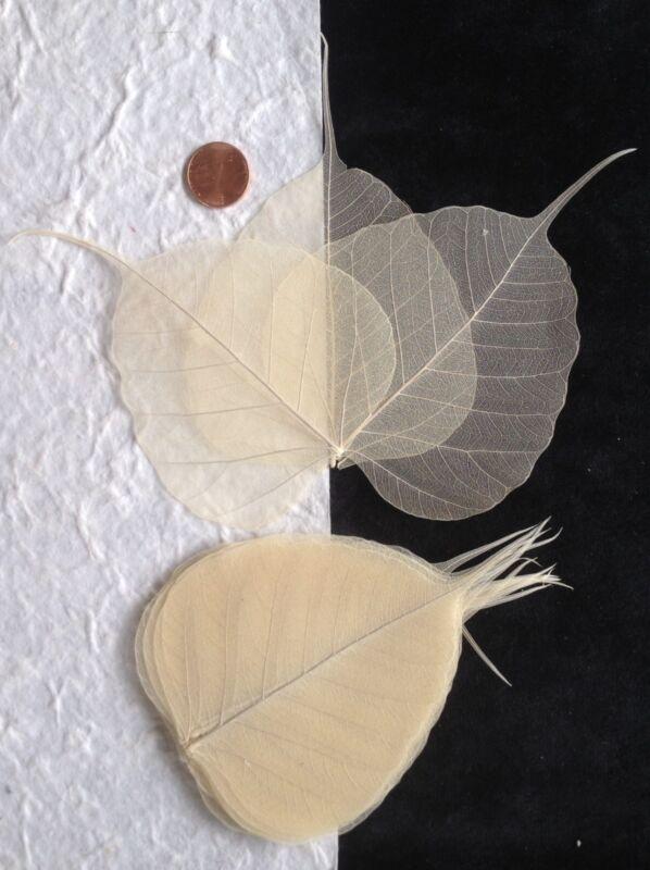 25 Natural leaf Po Bo Banyan Skeleton Leaves Cards Candles crafts soaps Medium