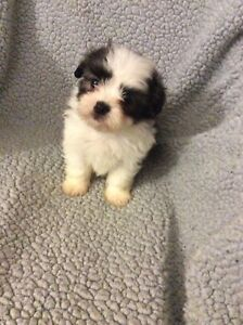 Adorable malshi  (Maltese x Shih Tzu) puppies