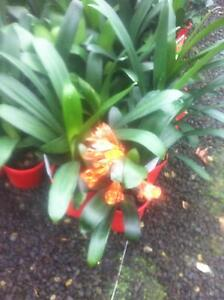 clivia plants Brighton Bayside Area Preview