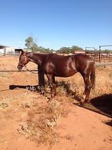 8 yo Chestnut mare Charleville Murweh Area Preview