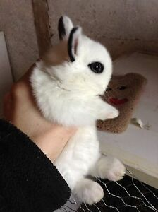 Male Hotot Rabbit