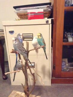 Hand Tamed Baby Budgies Canberra Region Preview