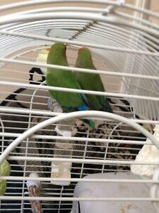 A Breeding Pair ! First time laying eggs, with cage, nest,eggs
