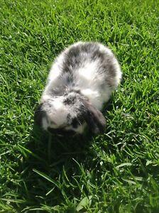 💛 Pure breed mini lop rabbits 💛