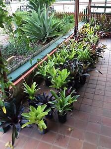 approx 70 bromeliads - mostly 200 mm pots Leppington Camden Area Preview