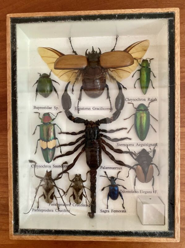 10 Real Bug Mounted Beetle Boxed Scorpion Insect Display Taxidermy Entomology