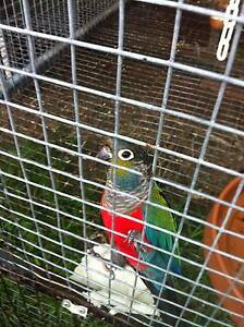 I have 2 Male Crimson Bellied Conures For sale Rutherford Maitland Area Preview