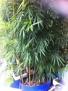 Bamboo - various types Nambour Maroochydore Area Preview