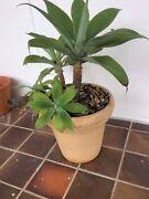 Agave plant & pot Burbank Brisbane South East Preview
