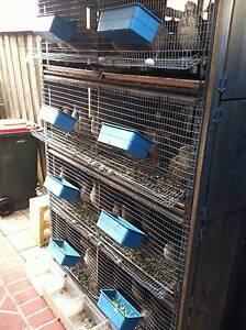 Japanese quail, Fertile eggs Fresh eggs _Sydney Quail Beaumont Hills The Hills District Preview