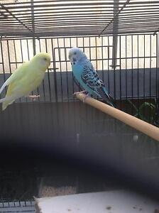 2 Beautiful Budgies Casey Area Preview