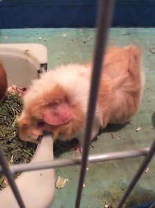2 female guinea pigs with cage and accessories PRICE NEGOTIABLE!