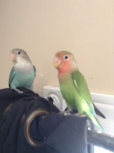 A pair of young love bird, less then year old come with cage