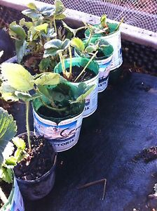 Strawberry plants - Red Guantlet Hobart CBD Hobart City Preview
