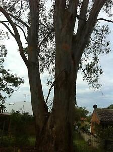 Huge gum tree timber for sale Kippa-ring Redcliffe Area Preview