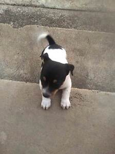 Foxie Mini Puppy Nanango South Burnett Area Preview