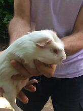 Guinea pigs for sale Netherby Mitcham Area Preview