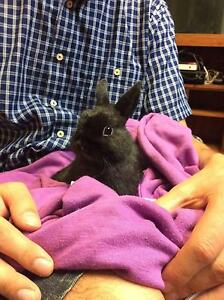 Baby Rabbits Black  Netherland Dwarf For Sale Sydney❤ Roseville Ku-ring-gai Area Preview