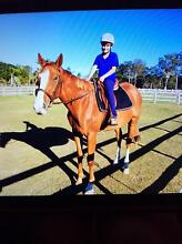 QUIET, CONFIDENCE BOOSTER,SWEET HORSE FOR SALE Burpengary Caboolture Area Preview