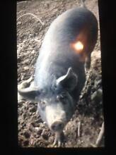 Purebred Berkshire sow (PIG ) Murwillumbah Tweed Heads Area Preview