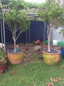 Ficus trees and pots Rathmines Lake Macquarie Area Preview
