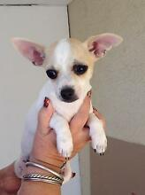 Chihuahua puppies Dural Hornsby Area Preview