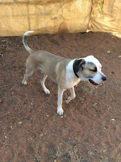 Bullarab x bullmastiff  puppy for good home 15 months old Mount Isa Mt Isa City Preview