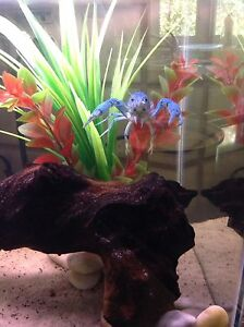 Need to rehome an electric blue lobster