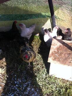 Point of lay hens (Aracauna; lay blue eggs)$30 EACH