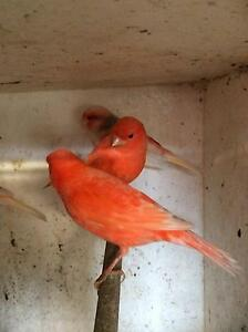 RED FACTOR & MOSAIC CANARIES FOR SALE Bankstown Bankstown Area Preview