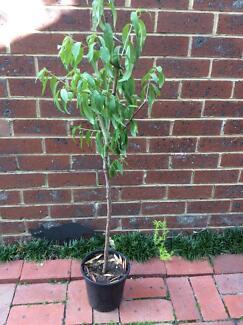 Red Nectarine tree