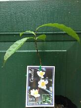 GROW YOUR OWN TEA: ** 7 CAMELLIA SINENSIS PLANTS ** Free Postage Malanda Tablelands Preview