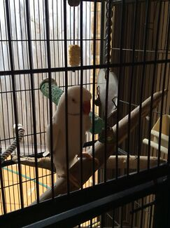 Indian Ringneck Hand Reared and Cage