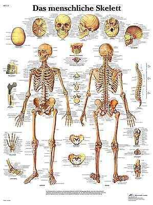 Das menschliche SKELETT Lehrtafel  Anatomie 50 x 67 cm  med.Lehrmittel  Poster